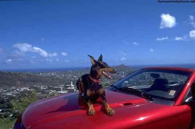 #Doberman car security system