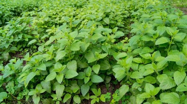Melisa lekarska to popularna roślina lecznicza i przyprawowa