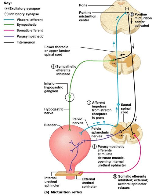Female urination anatomy