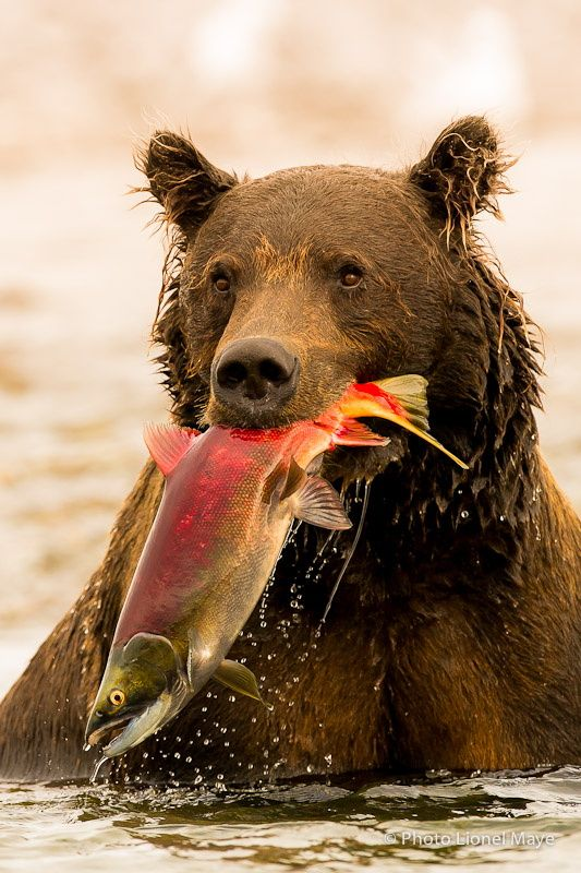 Success... by Lionel Maye on 500px - Grizzly bear in Alaska