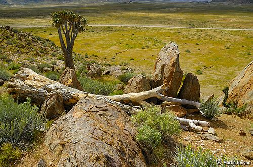 An ancient Aloe pillansii (Giant Quiver Tree) towers over fields of yellow wild flowers in the Southern Richtersveld, whilst an even larger Giant Quiver Tree that lived through centuries, ran out of time in this timeless land...   Southern Richtersveld, Northern Cape, South Africa
