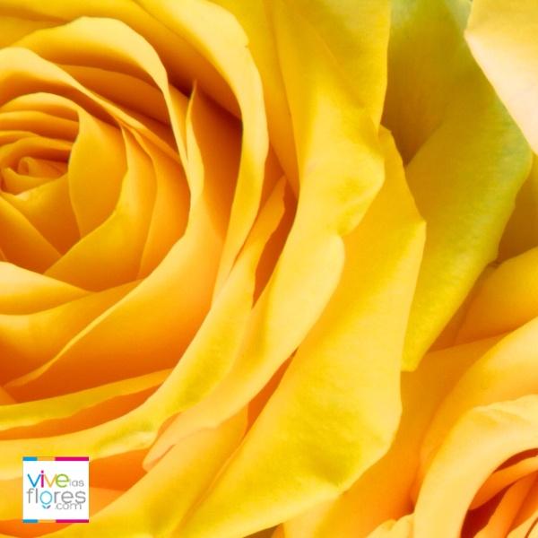 Las Rosas Amarillas de Vivelaflores.com transmiten Satisfacción y Alegría. Ilumina cualquier espacio con nuestras rosas.