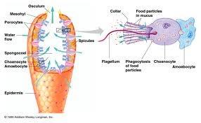 porifera diagram phylum porifera pinterest : porifera diagram - findchart.co