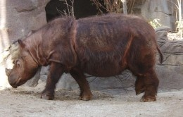 The Sumatran Rhinoceros is the fifth most endangered animal in the world. The Sumatran Rhinoceros' current population is around 300. The Sumatran Rhinoceros is the only Asian Rhinoceros with two horns and the only Rhinoceros with hair, having a coat of reddish brown fur.