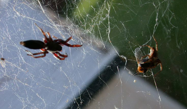 white tail spider attack prey