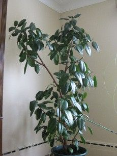A rubber tree plant is isn't as difficult to grow and care for as one might think. The following article provides tips that will help with the care of a rubber tree plant.