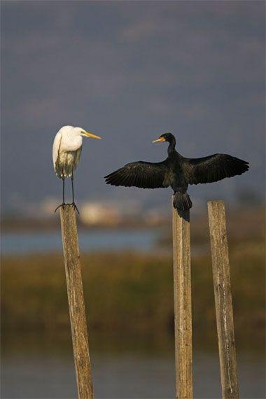 L'agró blanc i el corb marí. - Delta de l'Ebre