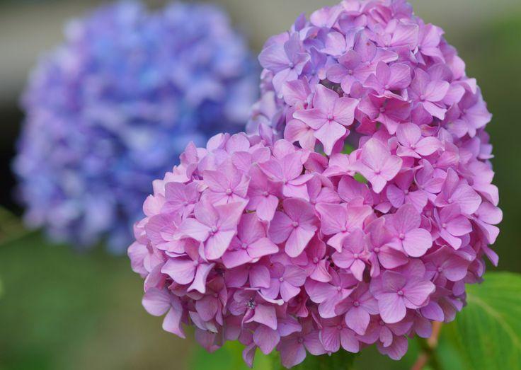 https://flic.kr/p/nGMSuP | Love | 20140615-DSC01608 ハート形もありました。 あじさい (紫陽花) /Hydrangea macrophylla アジサイ科アジサイ属。 英名 Hydrangea  智積院