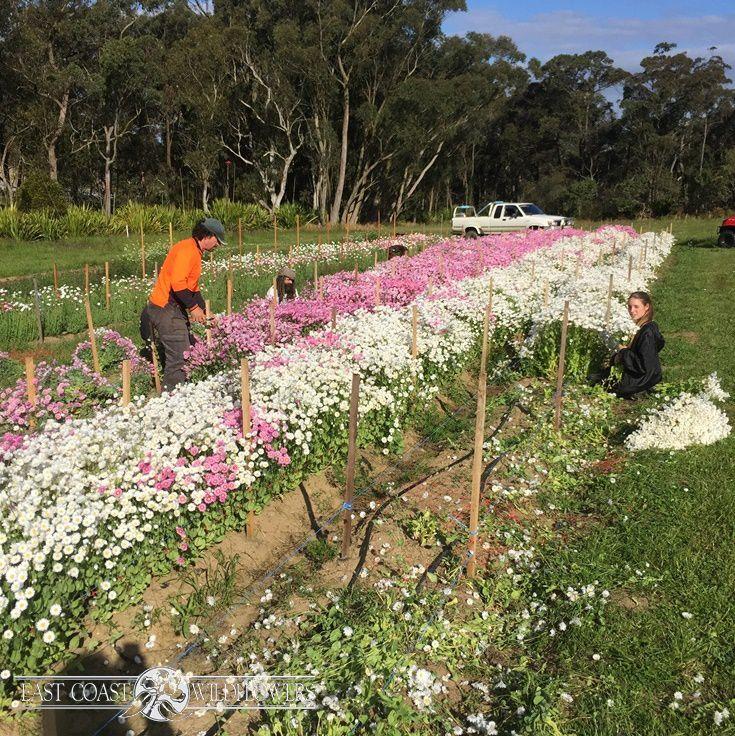 PAPER DAISIES (Rhodanthe) growing on our NSW farm #everlasting #harvest #flowerfarm
