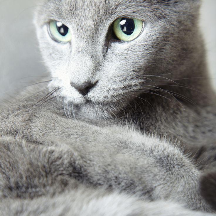 As 10 raças de gato mais amigáveis. Azul russo