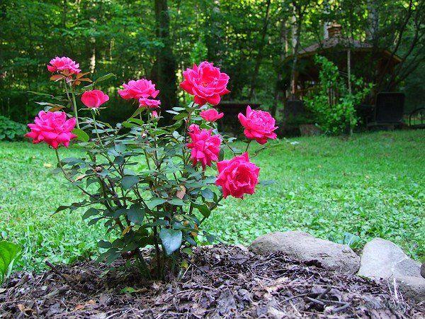 Google Image Result for http://2.bp.blogspot.com/-KUn7j3C7Vs4/T2ZLNZ_DZ3I/AAAAAAAAAzk/V_dw5rmTZTs/s1600/Pink%2BKnock%2BOut%2BRose.jpg - Pink double knockout roses...