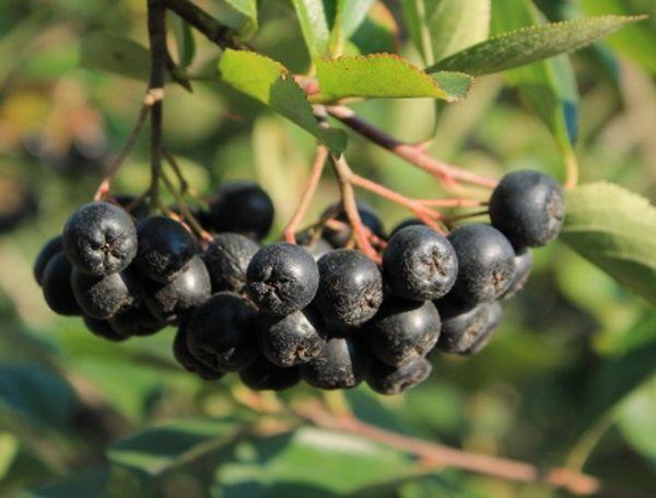 Sok od aronije kako se pravi i pije – Lekovite biljke