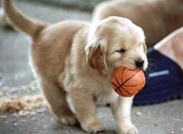 anak anjing Golden Retriever