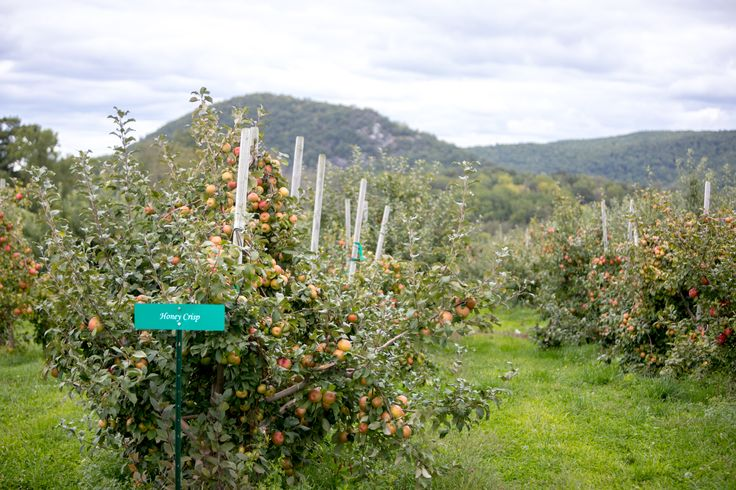 Honey Crisp. Bumper Crop. Pick Your Own. This Weekend. #wvwinery #pickyourown #applepicking #winery #wine #cider #apples #cocktails #sangria