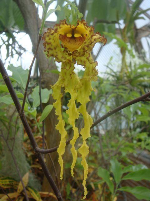 Monodora crispata : http://tropischekassenleiden.wordpress.com/page/10/