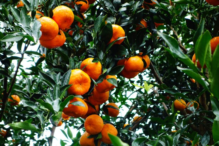 Tangerine. Atherton Tablelands. Quennsland. Australia.
