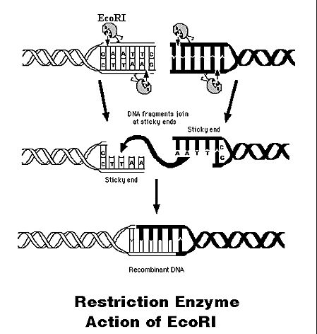 a lab report isolating escherichia coli and the effects of restriction enzymes Partnership for the advancement of chemical technology by introducing into escherichia coli restriction enzymesduring the second lab period,the.