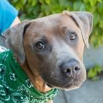 My name is Fergus and I may look big, but I am quite sure I will fit in your lap. Just let me try!  I love to cuddle and am attentive and affectionate. I like meeting new people, and can't wait to meet my forever family. If you're looking for love, I'm your guy!  Fergus is ACR# 24624 at Oakland Animal Services.