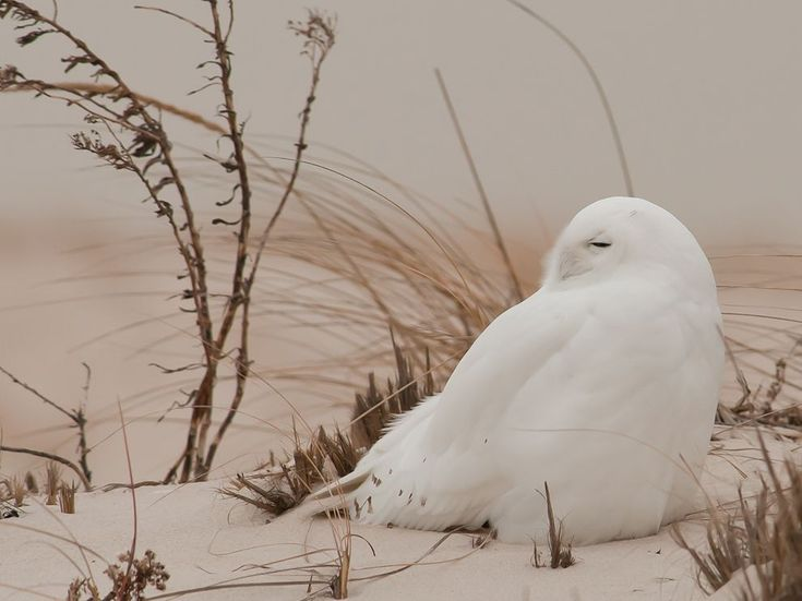 """Snowy Owl, Long Island: Not too far from the daily """"rush hour"""" campaign one can visit one of nature's most special environments -- Jones Beach, New York, the west end. It's a perfect host for various bird of prey species throughout the four seasons. Each winter hundreds of birders and photographers travel in search of the snowy owl."""