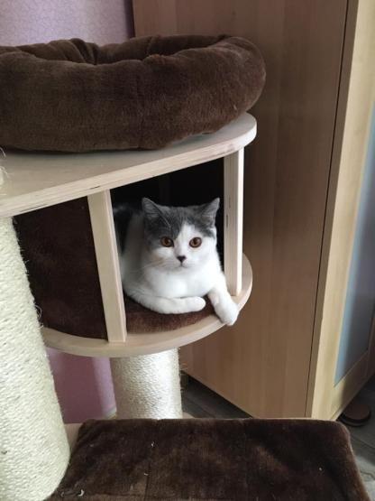 Dieser flauschige Geselle sucht mit Frauchen und Katzenkumpel in Bremen noch ein Zuhause. Sucht jemand zufällig Mitbewohner?  #flauschig #Katze #Mitbewohner #Haustier #BritishShorthair