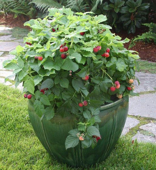 Raspberries in a pot instead of in the ground. Heard they can be invasive, so would like to try this.