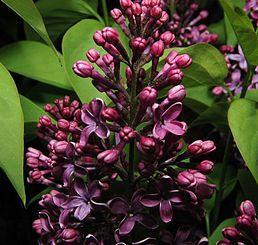 Šeřík, Šeřík obecný, je rod keřů až menších stromů z čeledi olivovníkovitých.