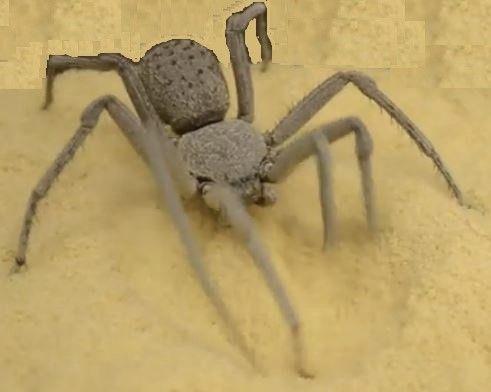 Ragno di sabbia a 6 occhi, un ragno con 3 file di paia di occhi, il suo aspetto ricorda visivamente quello di un granchio, ha un corpo lungo in media 1 cm e le zampe di 5 cm di lunghezza, può raggiungere i 15 anni di età