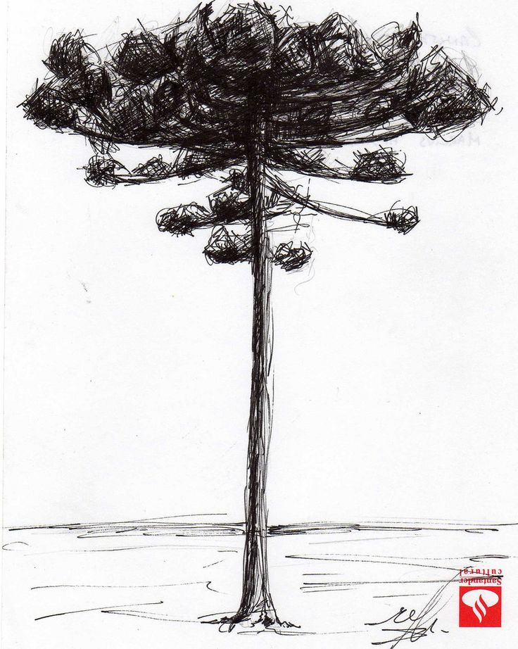 araucaria desenho - Pesquisa Google
