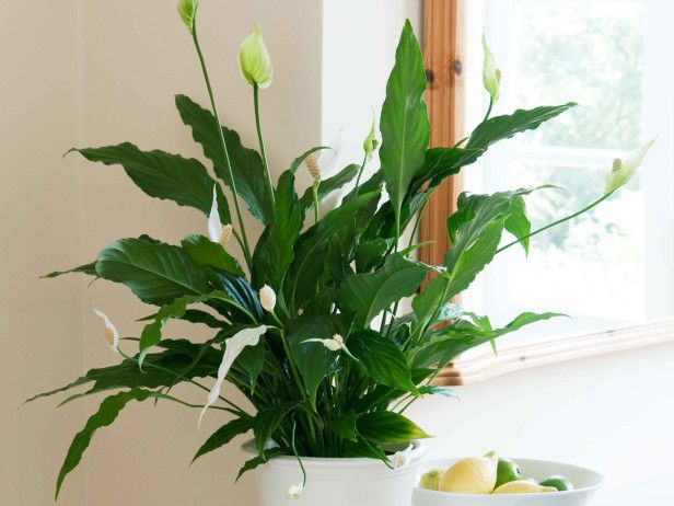 17 best images about houseplants on pinterest the plant low light plants and african violet - Easy care indoor plants ...