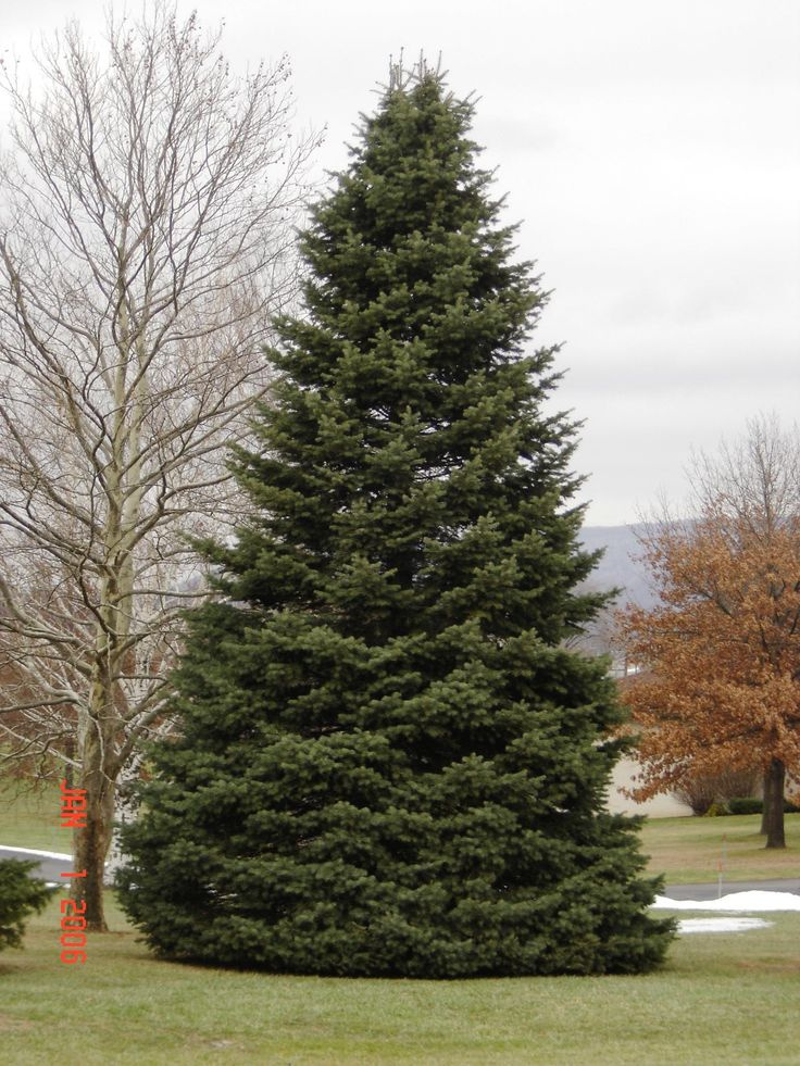 Hardwood And Softwood Trees ~ Softwood fir tree timber pinterest trees models and