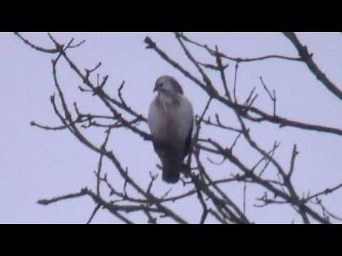 Welke vogel roofvogel is dit? Which bird-of-prey is this? Dwergarend of een Grijze wouw - Booted Eagle or a White-tailed Kite? Gespot in Nootdorp in Zuid Holland bij de Dobbeplas. Was best een grote vogel! Dwergarend of een Grijze wouw?