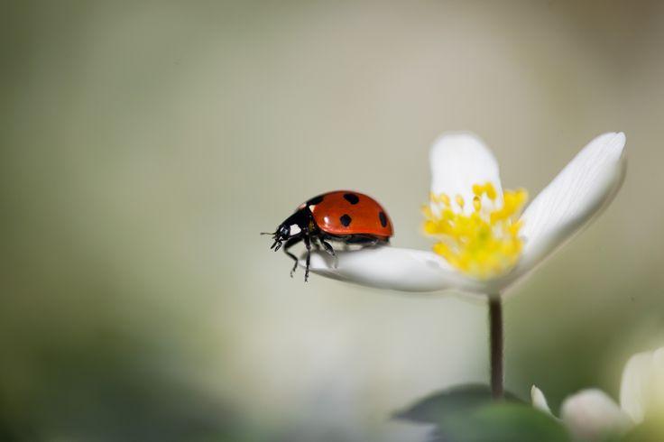 Ladybug on a windflower