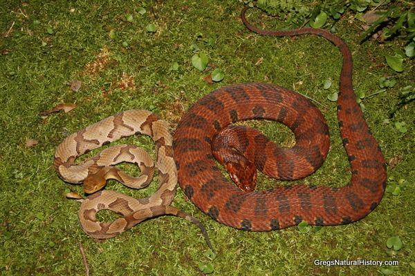 17 best images about snakes on pinterest pit viper hillbilly and python. Black Bedroom Furniture Sets. Home Design Ideas