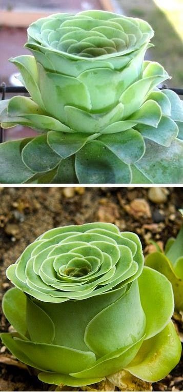 I love this! Rose-shaped succulent called Greenovia dodrentalis