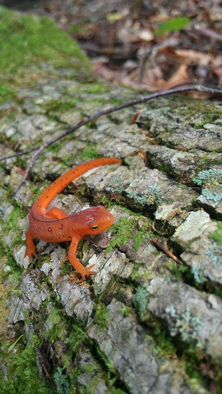 red eft salamander