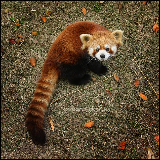 Red Pandas...They have these at the Manhattan,KS zoo and they are super cute!