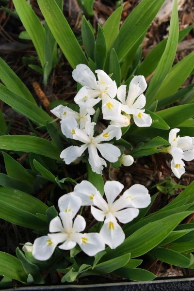 Tennessee White Crested Woods Iris for sale buy Iris cristata 'Tennessee White'