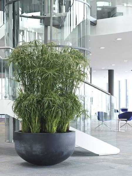 Cyperus papyrus, Interior landscaping, Wikiplant, XL Plants around