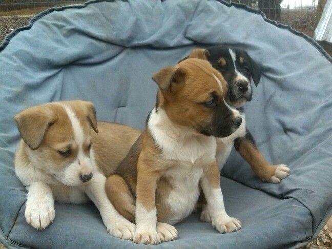 Pitbull, husky mix puppies   puppies   Pinterest