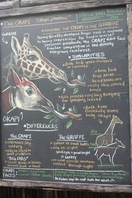 Okapi vs. Giraffe _MG_6098 by Shane-Carrie, via Flickr