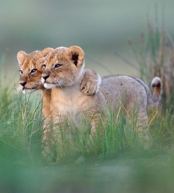 "Lion cub friends - ""you take the one on the right and I'll..."""