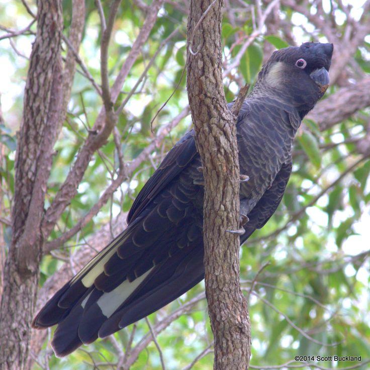 Baudin's Black-Cockatoo (male) - Glen Forrest, Western Australia - ©2014 Scott Buckland
