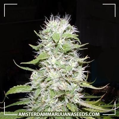 Hawaii Skunk seeds | Original Hawaiian strain crossed with Skunk#1 gives a plant which is short and sturdy.It will have v...