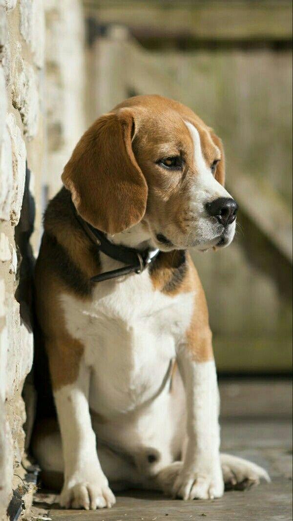 Pin By Nur Salina On Binatang Beagle Dog Beagle Puppy Dogs