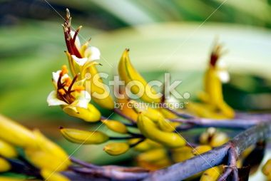 Harakeke (New Zealand Mountain Flax) in Bloom Royalty Free Stock Photo