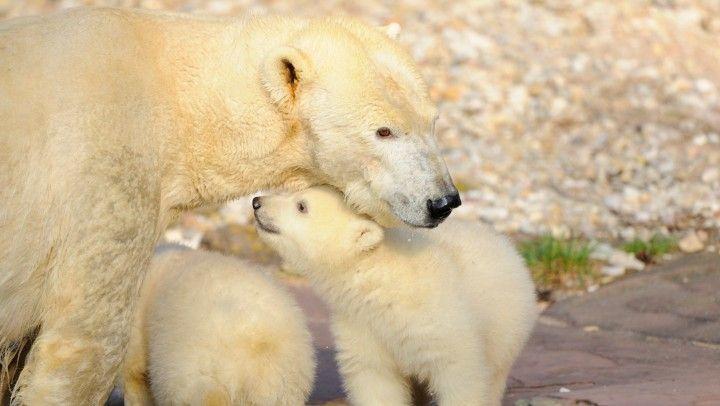 Kihalással fenyegeti a jegesmedvéket a globális felmelegedés | 24.hu