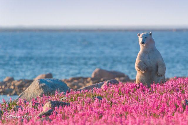 Белый Волк: канадский фотограф Захватывает Белые медведи, играя в Flower Fields