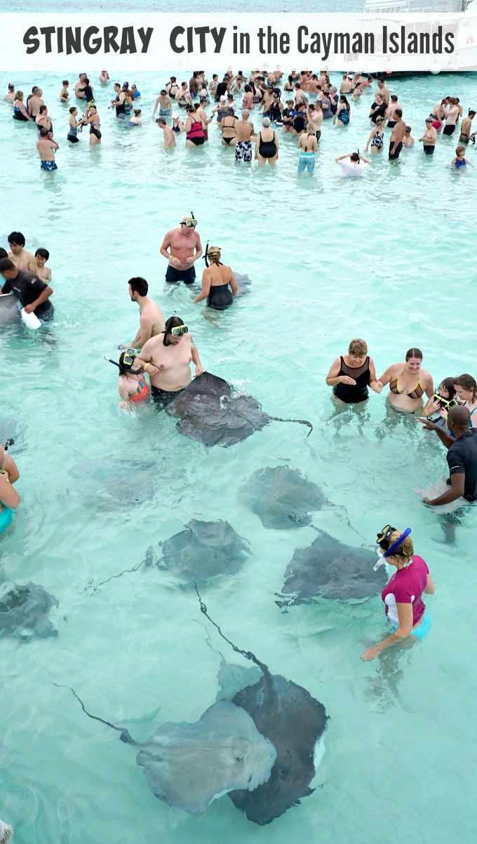 Swimming with Southern Stingrays at Stingray City in the Cayman Islands