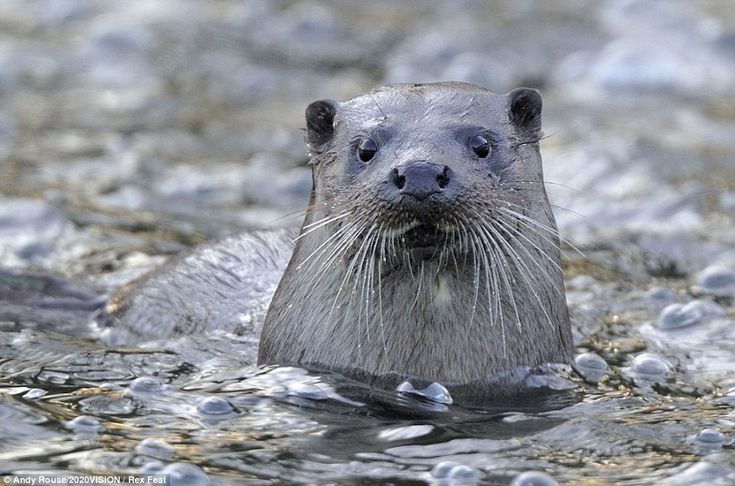 A portrait of a European river otter in Wales, part of the 2020VISION wildlife photography project