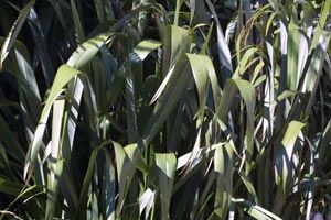 Harakeke New Zealand Flax . This plant is found throughout New Zealand,  The seed is currently used for oil as it is rich in linoleic acid, an 'essential' fatty acid. Early recordings identify a wide range of uses for harakeke, from healing burns to constipation to gunshot and bayonet wounds.The roots are noted as being used for colds and headaches whereas the leaves are used for stomach trouble. The liquid gained from boiling the roots is apparently a good substitute for castor oil.